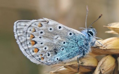grey-blue-hairy-butterfly